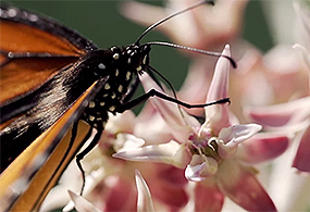 A Monarch butterfly sits on a pink and white flower