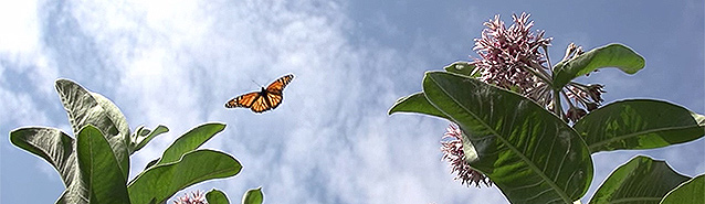 A orange and black Monarch butterfly flies over green and pink milkweek plants