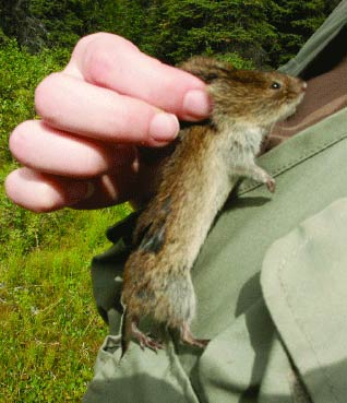 closeup of a hand holding a roughly six inch long vole