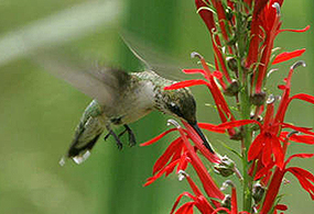 A hummingbird hovers over a red flower