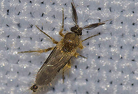 A close-up photo of a chocolate midge