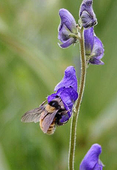 A bumble bee clings to a purple flower