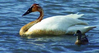 large white bird and small brownish bird floating on a lake