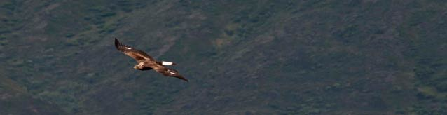 a brown colored eagle flying over dark hills
