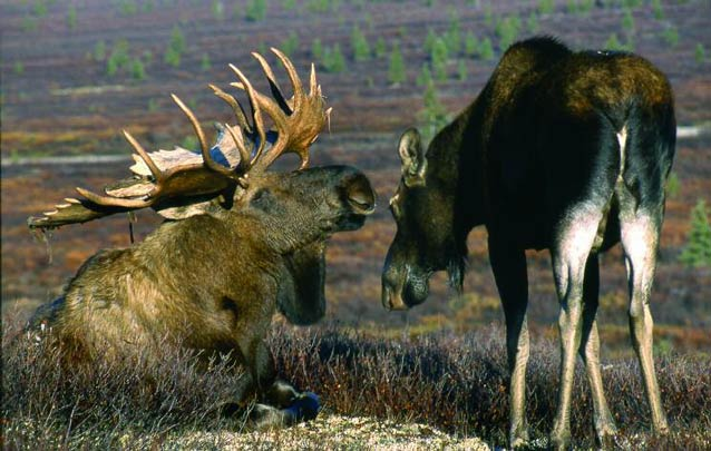 female moose walking up to a male moose who is laying down