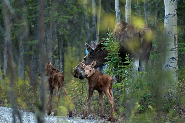 two small moose calves and a large cow moose in a forest