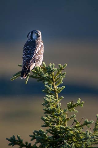 owl perched in a spruce tree