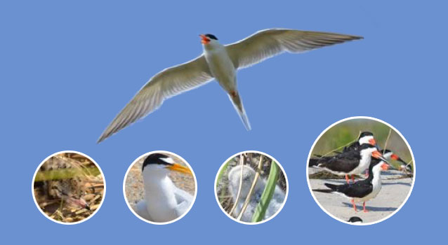 Collection of colonial waterbirds: tern chicks, adult terns, and black skimmers