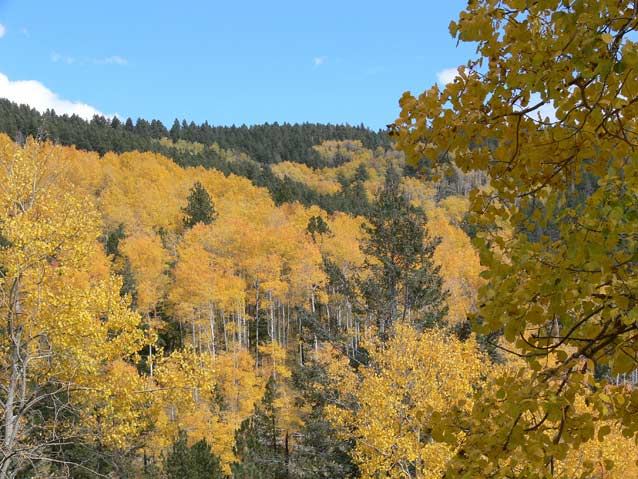Montane forests dominate some of the highest elevations of the Colorado Plateau