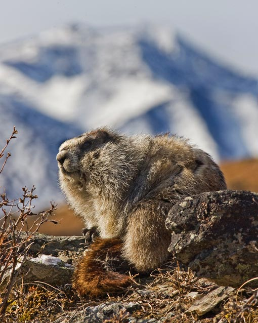 A marmot with a snowy mountain in the distance