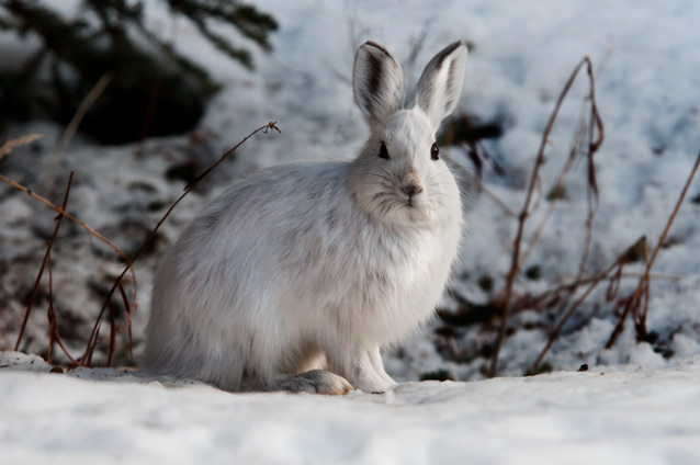 white colored hare in a snowy landscape