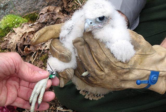 Baby Peregrine Falcon being banded.