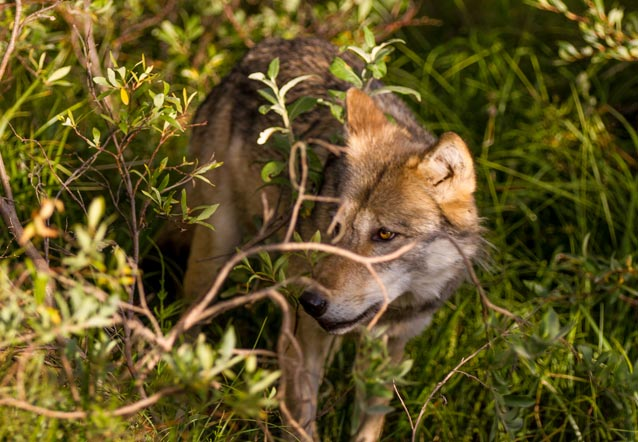 a wolf partly hidden by brush