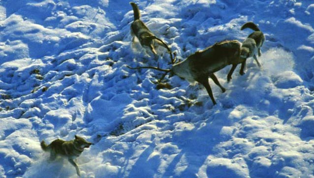 three wolves surrounding a caribou in snow