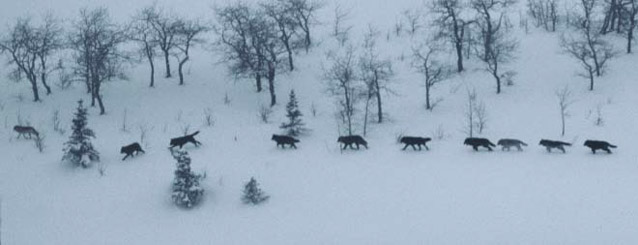 ten wolves walking in a row through a snowy forest
