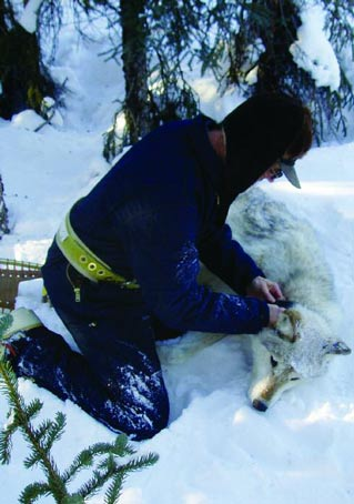 man kneeling in snow, attaching a collar to an immobilized wolf