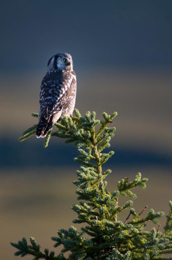 large greyish owl perched atop a thin spruce tree