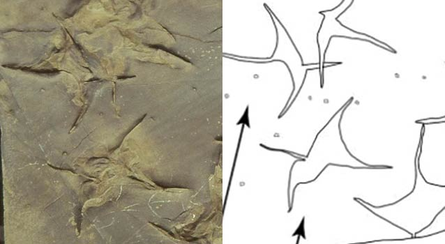 four-toed footprints in rock with a line drawing to help show what they look like