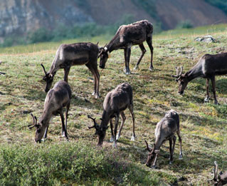six caribou grazing on a hill