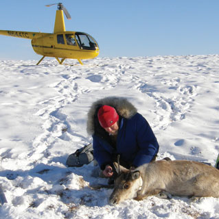 man kneeling in snow over an immobilized caribou, a yellow helicopter in the background