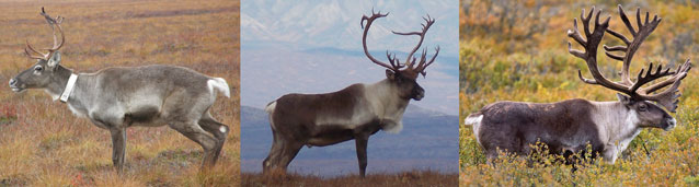 composite of three  images of male caribou
