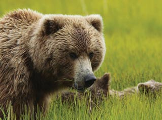 closeup of a bear and cub standing in grass