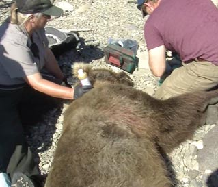 two people kneeling next to an unconscious bear