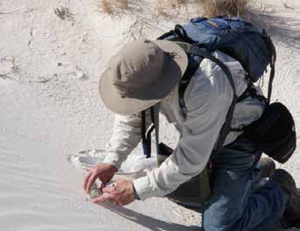 Capturing arthropods by hand at White Sands National Monument.