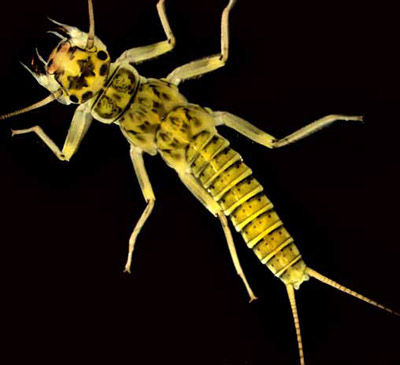 Example of an aquatic macroinvertebrate: Perlodid stonefly (Baumanella sp.).