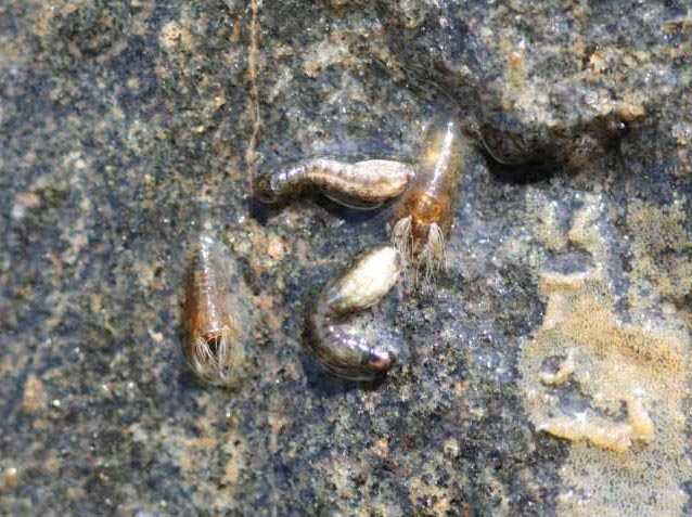Black fly (Simulium decorum) larvae and pupae.