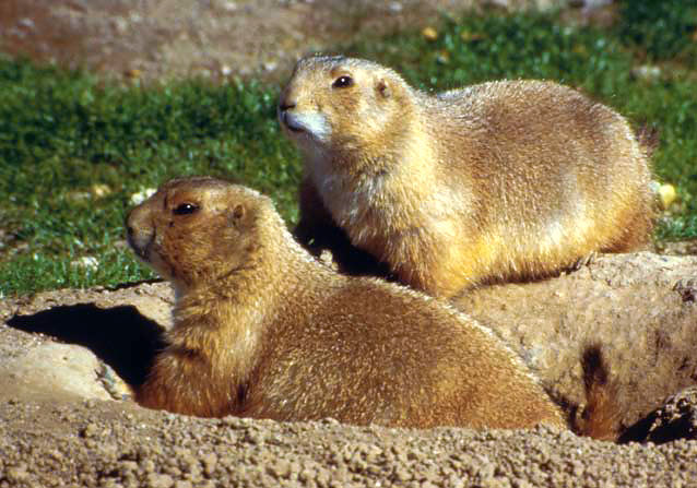 Black-tailed prairie dogs (note black tip of tail) are the most abundant and widespread species.