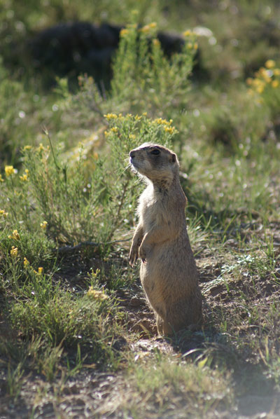 Prairie Dogs of the Southwest Management Activities US