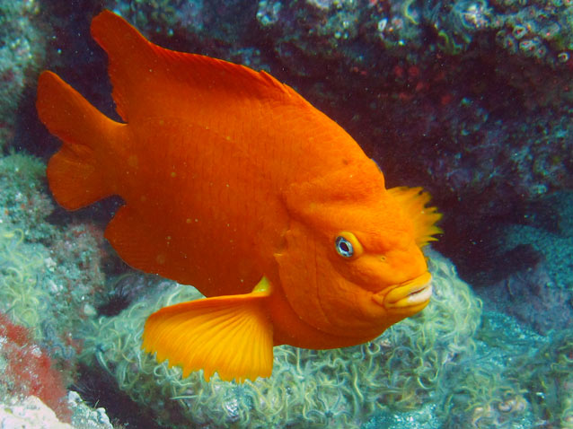 The Garibaldi is the California State fish, and is protected from fishing.