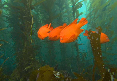 Garibaldi mainly live in the kelp forest ecosystem.
