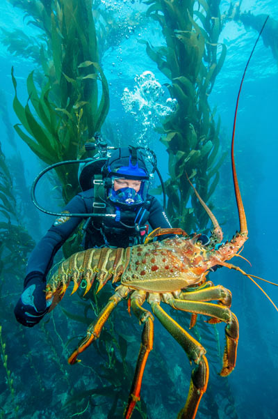 A large spiny lobster in a kelp forest within one of the Channel Islands' marine protected areas.