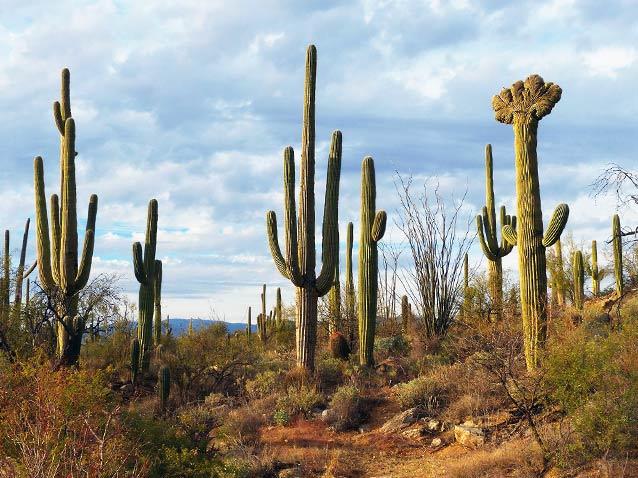 Saguaro Cactus: Sentinel of the Southwest (U.S. National Park Service)