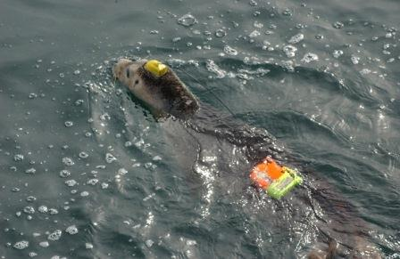 juvenile female harbor seal swimming in the water temporarily instrumented with tags