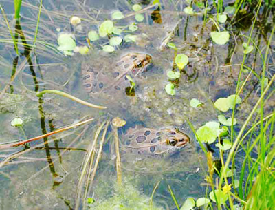 Northern leopard frogs breed in permanent pools in rivers, streams, pools, ponds, and wetlands.