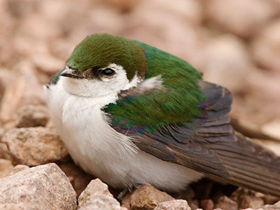 Small bird with an irridescent green back and a white breast sitting on the ground