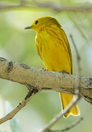 Small, bright yellow bird