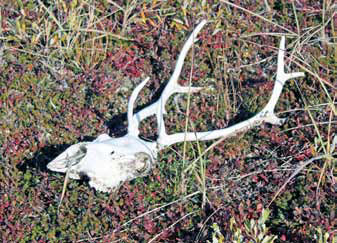 caribou skull and antlers on the ground