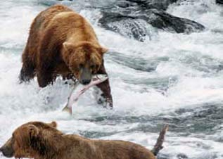 bears in water fishing for salmon
