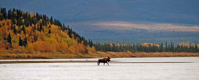 moose walking through shallow water