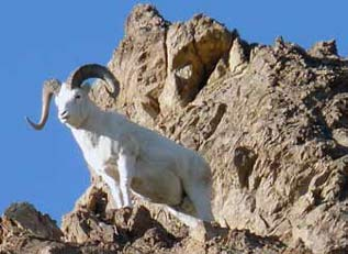 a white sheep standing on a rocky mountain top