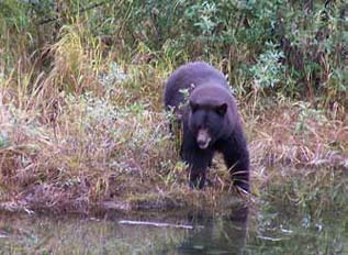 a black bear stepping into a creek