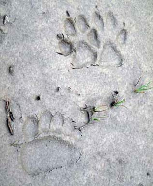 mud showing imprint of bear and wolf tracks
