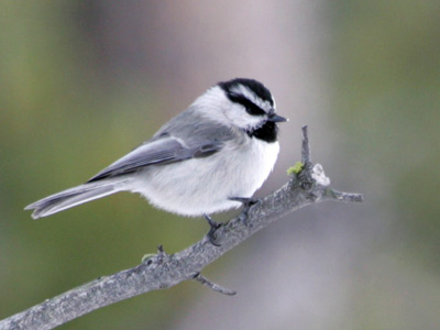 Small bird with a gray back, white breast, black chin, and black and white head perched on a branch