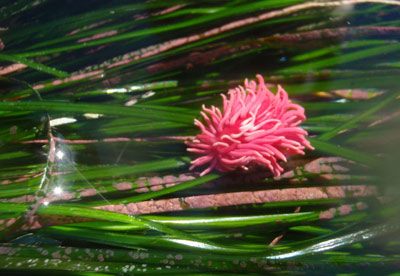 Hopkins rose sea slug and algae in surfgrass habitat at low tide in Channel Islands National Park