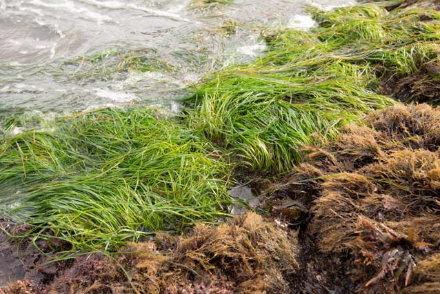 Surfgrass bed exposed during a low tide at Channel Islands National Park
