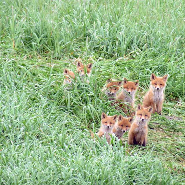 eight red foxes in tall grass